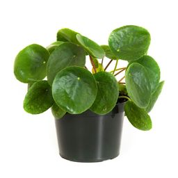 Pilea Peperomioides in 6 in. Grower Pot | The Home Depot