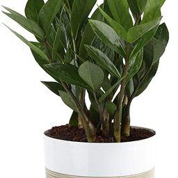Costa Farms ZZ Zamioculcas zamiifolia, Indoor Plant, 12-Inch Tall, White-Natural Décor Planter   Amazon (US)