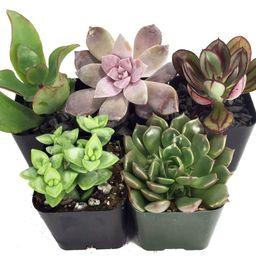 "Succulent Terrarium & Fairy Garden Plants - 5 Different Plants in 2"" Pots | Walmart (US)"