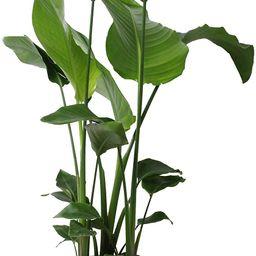 Indoor Plant from Botanicly – Bird of Paradise Flower – Height: 90 cm – Strelitzia Nicolai   Amazon (UK)