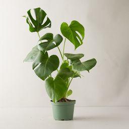 Monstera Deliciosa Plant   Terrain