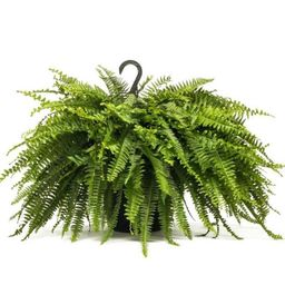 Boston Fern Plant in 8 in. Hanging Basket   The Home Depot