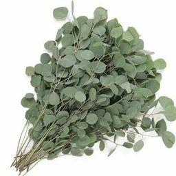 Fresh Silver Dollar Eucalyptus 10 Stems Fresh Eucalyptus   Etsy   Etsy (US)