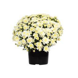 Altman Plants WEB 1G MUM WHITE (SINGLE) | The Home Depot
