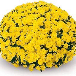 (2) Live Plants - Yellow Chrysanthemums - Live Plants USA   Amazon (US)