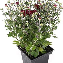 Plants by Post Garden Mum 4in Chrysanthemum Red Quart Perennial Flower   Amazon (US)