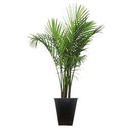 48'' Live Majesty Palm Tree in Planter Costa Farms | Wayfair North America