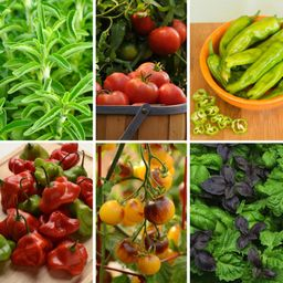 Cottage Farms Direct Foodie Fresh Vegetable Garden 2.5 in. Pots Basil-Pepper-Stevia-Tomato Plants (6 | The Home Depot