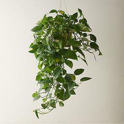 Pothos Plant | Terrain