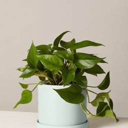 Pothos | The Sill