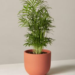 Parlor Palm | The Sill