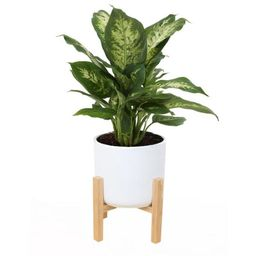 Costa Farms 6 in. Dieffenbachia Plant in Mid Century White Planter-CO.DF06.3.MIDWHTSTD - The Home... | The Home Depot