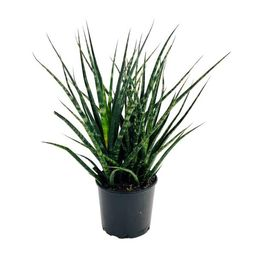 Pure Beauty Farms 1.9 Gal. Sansevieria Fernwood Snake Plant in 9.25 In. Grower's Pot-DC10SANFERNW... | The Home Depot
