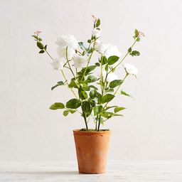 Faux Potted White Roses | Pottery Barn (US)