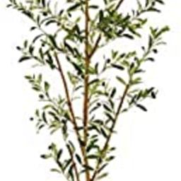 """Nearly Natural 82"""" Olive Artificial Silk Trees Green 