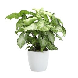 """11"""" Live White Butterfly Plant in Pot Thorsen's Greenhouse Base Color: White 