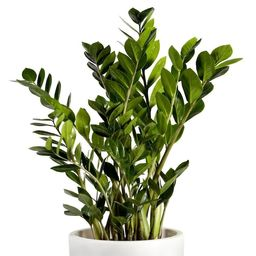 National Plant Network1-in Zz Plant in Plastic Pot (Houseplant) | Lowe's