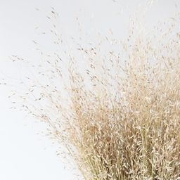 """Dried Indian Rice Grass - 22"""" 