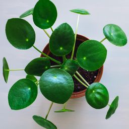 National Plant Network 4 In. Chinese Money Plant Pilea Plant in Grower Pot - 4 Piece | The Home Depot