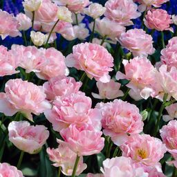 Tulips Bulbs Angelique (Set of 12)   The Home Depot