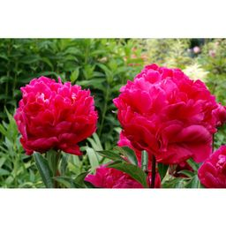 Karl Rosenfield Peony   The Home Depot