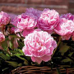 Peonies Bulbs Sarah Bernhardt (Set of 5 Roots)   The Home Depot