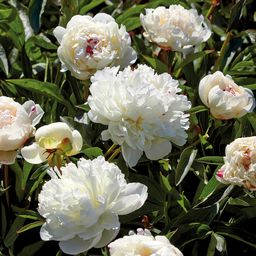 Peonies Bulbs Festiva Maxima (Set of 6 Roots)   The Home Depot