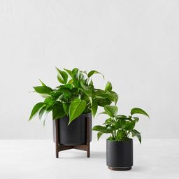 Léon & George Jade Pothos Potted Plant, Black | Williams-Sonoma