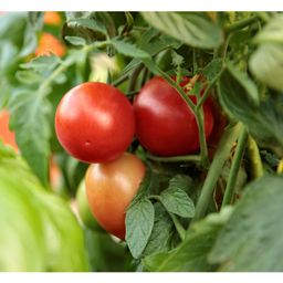 PROVEN WINNERS 4.25 in. Grande Garden Gem Tomato (Lycopersicon) Live Plant, Red Tomatoes 4-Pack-V... | The Home Depot