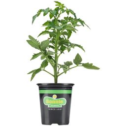 Bonnie Plants 19.3 oz. Celebrity Tomato Plant-0219 - The Home Depot | The Home Depot