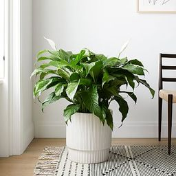 """Live Spath Plant in 10"""" Grower Pot 
