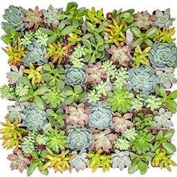 Altman Plants - Live Succulent Plants (64 Pack) Assorted Potted Succulents Plants Live House Plan... | Amazon (US)