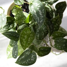 National Plant Network 6 in. Devil's Ivy Silver Satin Pothos Plant in Grower Pot | The Home Depot
