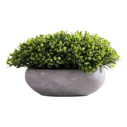 Green Potted Boxwood Arrangement   Zulily