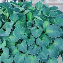 Spring Hill Nurseries Blue Mouse Ears Hosta, Live Bareroot Plant, Blue Foliage Perennial (3-Pack)... | The Home Depot