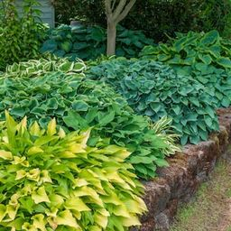 Spring Hill Nurseries Super Hosta Plant Mixture Live Bareroot Perennial Plants Multi-Colored Foli... | The Home Depot