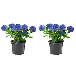 2.5 Qt. Blue Perennial Hydrangea Macrophylla (2-Pack)-1057 - The Home Depot   The Home Depot