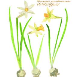 Botanical No. 2, Wild Daffodil | Artfully Walls
