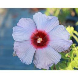 2 Gal. Hardy Hibiscus Blue Flower Bleu Brulee Hibiscus Plant-17880 - The Home Depot | The Home Depot