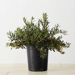 Alder & Oak Olive Shrub Potted Plant   Williams-Sonoma