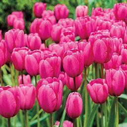 Pink Impression Tulip   Brecks