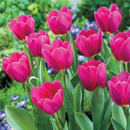 Buy Barcelona Tulip Online   Tulip Bulbs for Sale   Breck's   Brecks