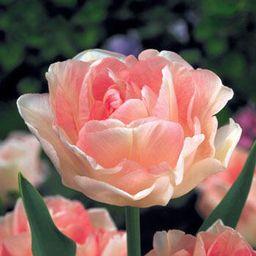 Tulip Sale  Angelique Tulip   Breck's   Brecks