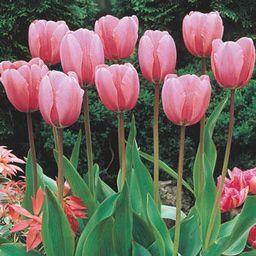Guinevere Jumbo Perennial Tulip - Giant Darwin Hybrid Pink Tulip   Breck's   Brecks