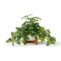 """23"""" x 24"""" Faux Monstera Adansonii Plant in Pot with Wood Stand White - Hilton Carter for Target 