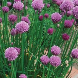 Seeds of Change Organic Garden Chives Seeds-07389 - The Home Depot   The Home Depot