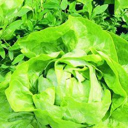 Bonnie Plants 6PK Lettuce - Buttercrunch-0052 - The Home Depot | The Home Depot
