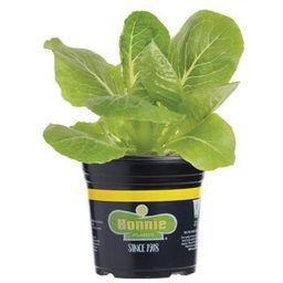 Bonnie Plants 6PK Lettuce - Romaine Green-0051 - The Home Depot | The Home Depot