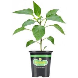 Bonnie Plants 19.3 oz. Red Bell Sweet Pepper Plant-2101 - The Home Depot | The Home Depot