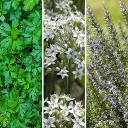 Cottage Farms Direct Herb Garden Good Grillin Collection 2.5 in. Pots -Parsley-Rosemary-Garlic Chive | The Home Depot